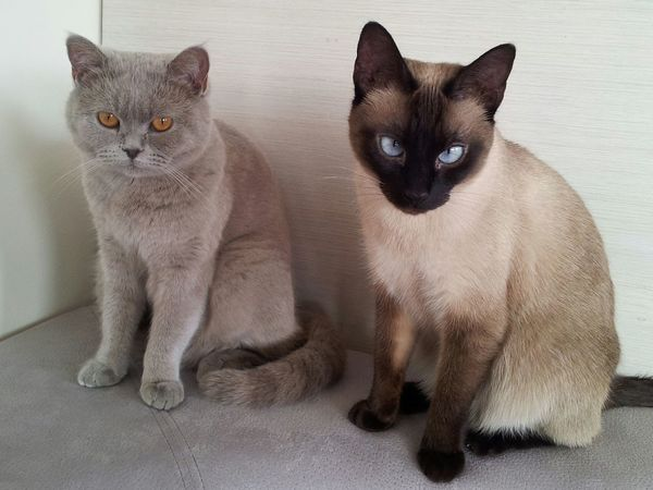 Domestic Cat Pets Domestic Animals Mammal Feline Togetherness Animal Themes Portrait No People Indoors  White Background Siamese Cat Day British Shorthair Puma And Lulu Friendship Enemies Friends And Enemies