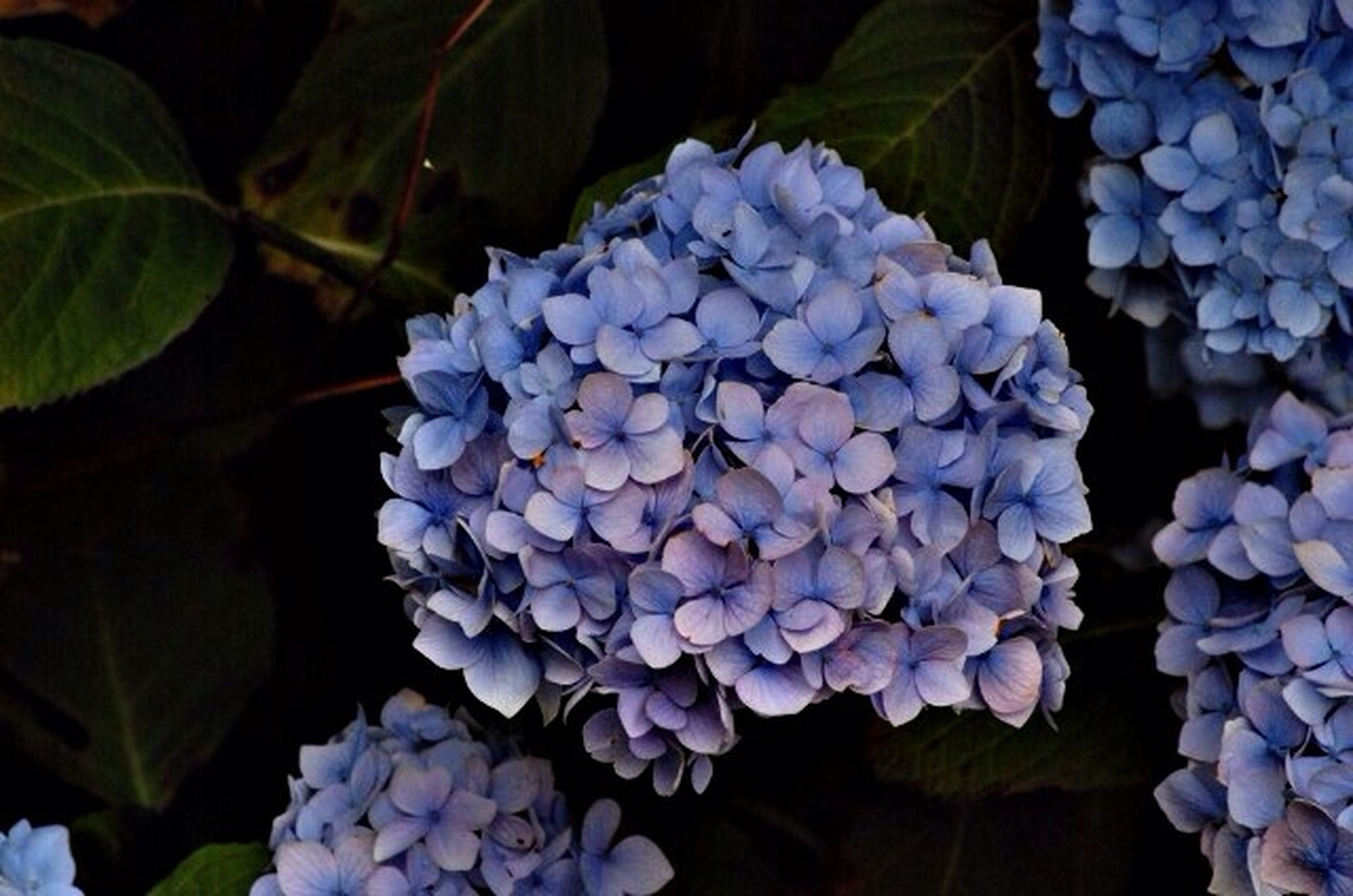 flower, freshness, growth, fragility, beauty in nature, purple, plant, petal, nature, flower head, close-up, leaf, blooming, hydrangea, in bloom, park - man made space, focus on foreground, botany, blue, blossom