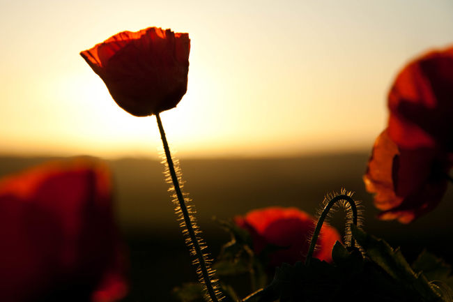 Poppy Sunset Armistice Remembrance Silhouette Sunset Silhouettes Nature On Your Doorstep The Great Outdoors - 2015 EyeEm Awards EyeEm Best Shots - Nature