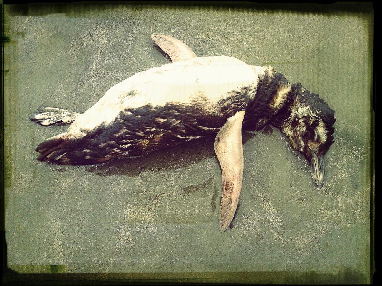 que pena, achamos um pinguim morto:'(
