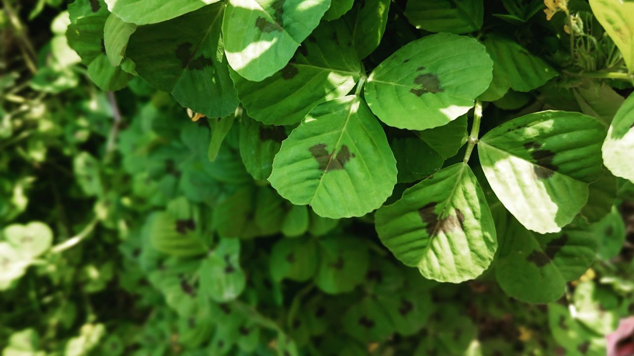 Clover Trefoil Trifolium Faboideae Botany Nature Plant Outdoors Close-up Freshness Growth No People Green Leaves The Great Outdoors Spring Feeling Creative Photography Taking Photos EyeEm Nature Lover EyeEm Best Shots Open Edits Beauty In Nature Green Plants Day