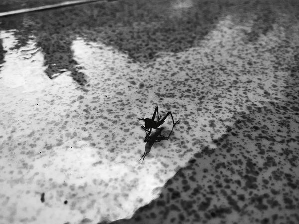 Grasshopper Hopper Black And White Mirror Reflection Reflections