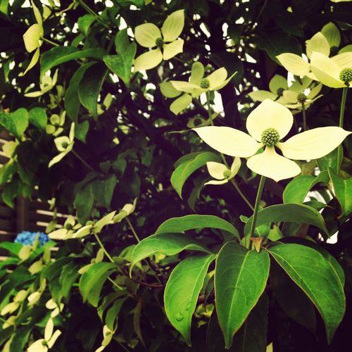 Flowers 山法師