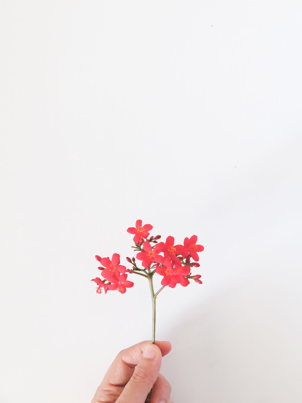 Close-up Copy Space Flower Flower Head Fragility Freshness Gift Holding Human Body Part Human Finger Human Hand Little Things One Person Real People Red Studio Shot White Background