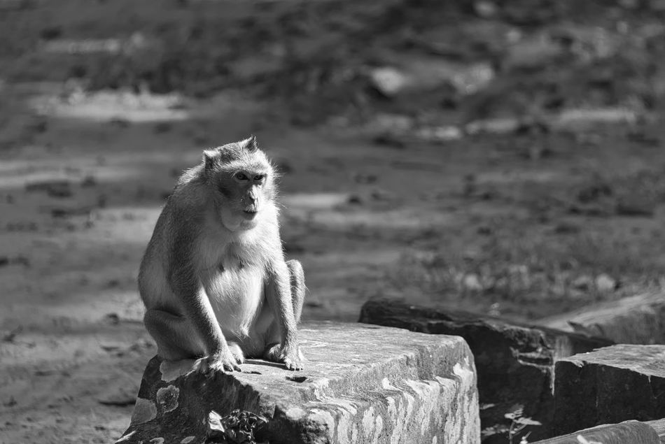 Sunbathing Animal Themes Animals In The Wild Art Is Everywhere ASIA Black & White Black And White Blackandwhite Bw Bw_collection Close-up Day EyeEm Animal Lover EyeEm Best Shots - Black + White EyeEm Diversity Macaque Mammal Monkey Nature No People One Animal Rock - Object Sitting Sunbathing The Secret Spaces