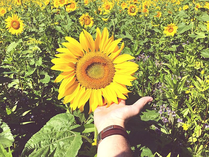 Flower Human Hand Flower Head Yellow Human Body Part Nature Beauty In Nature Outdoors Real People One Person Freshness Holding Plant Day Sunflower Fragility Growth Field Summertime Summer Views Presentation Sunflowers Beauty In Nature Field Close-up