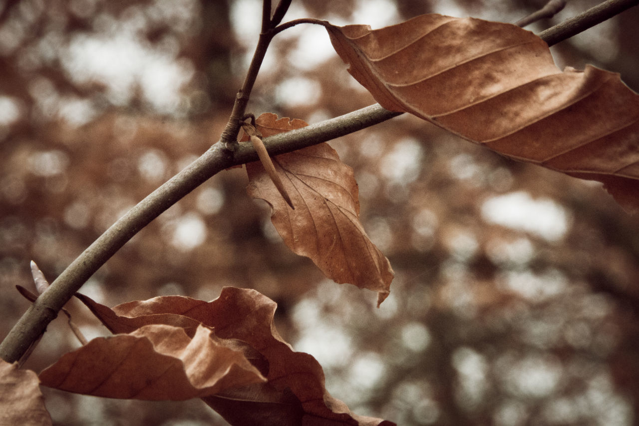 leaf, autumn, nature, change, dry, close-up, day, focus on foreground, beauty in nature, outdoors, no people, fragility, twig, growth, plant, tree, branch, dried plant, maple, freshness