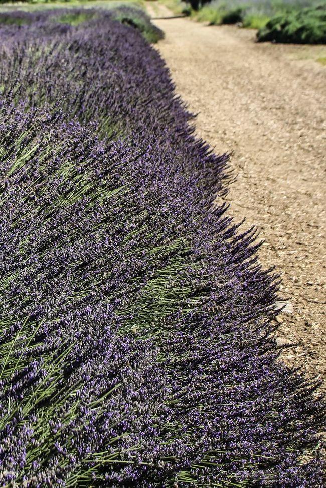 Edge of Lavender fields in Beaumont, CA. Plantlife Budding Flower Flowers Plant California Desert Deserts Around The World Garden Photography Desert Life JGLowe