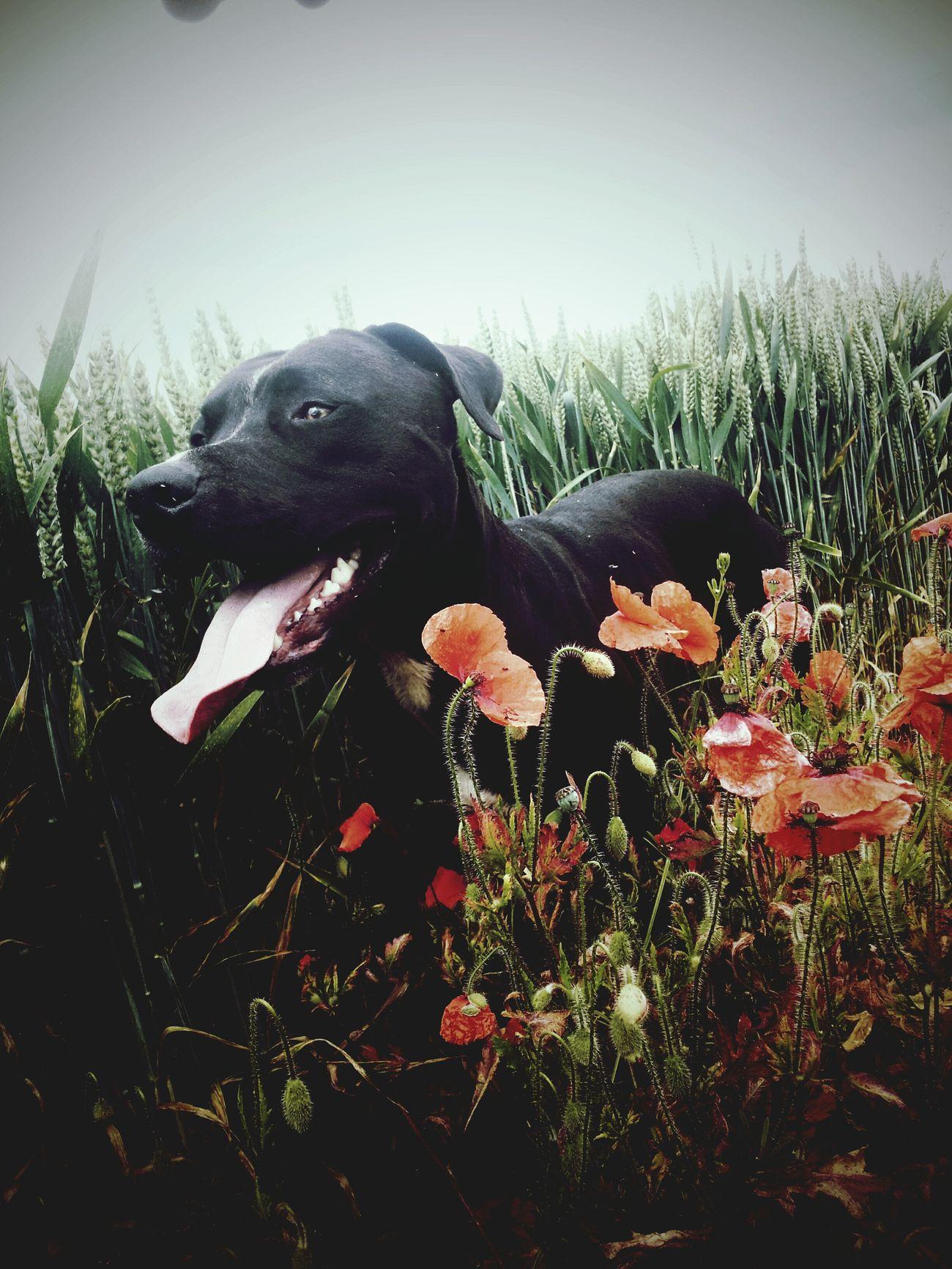 Pit Bull Pitbull LoverPet Photography  Pet Love