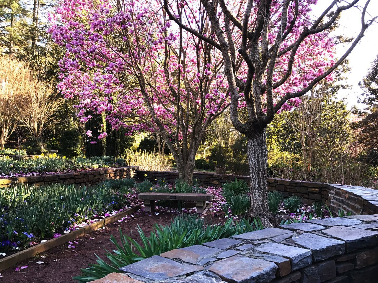 I love spring in North Carolina. Flower Growth Nature Beauty In Nature Tree Plant Freshness Pink Color Purple Outdoors No People Blossom Fragility Day Rhododendron Spring Springtime Spring Flowers