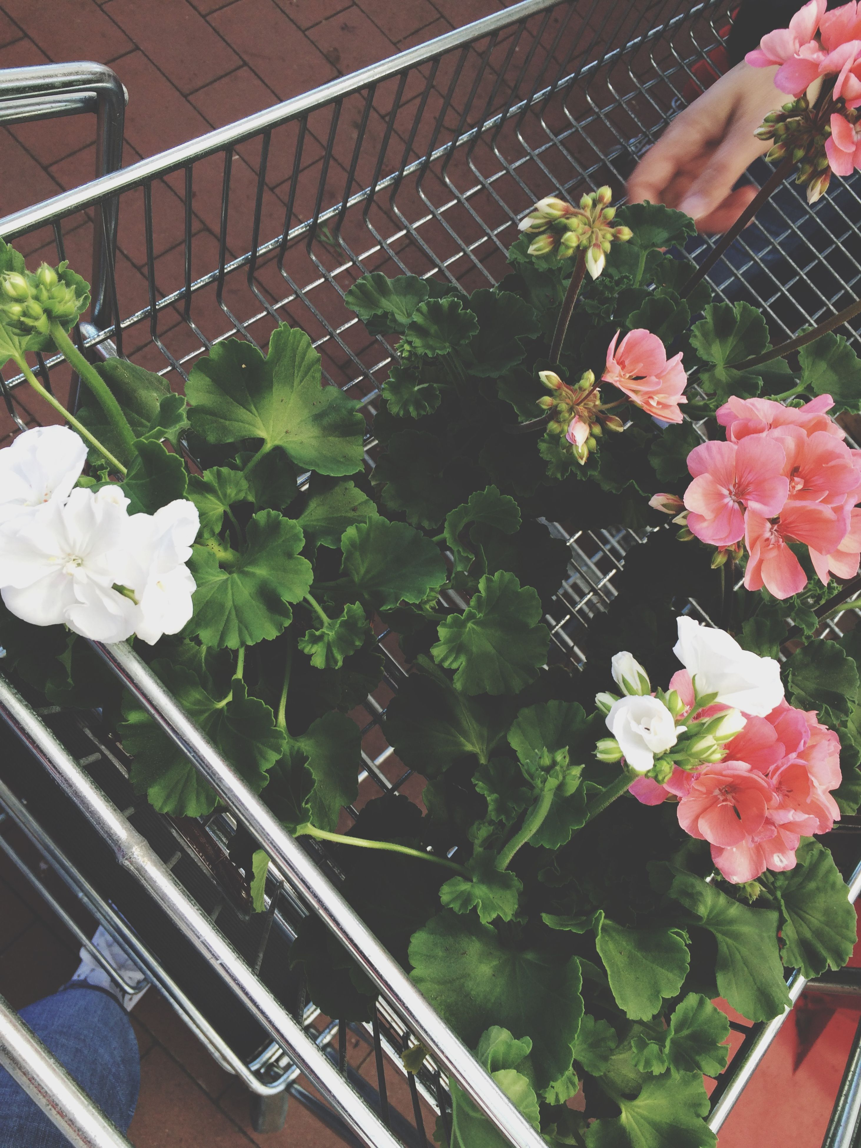 flower, freshness, fragility, petal, growth, plant, high angle view, beauty in nature, flower head, blooming, nature, pink color, in bloom, leaf, blossom, potted plant, railing, outdoors, front or back yard, day