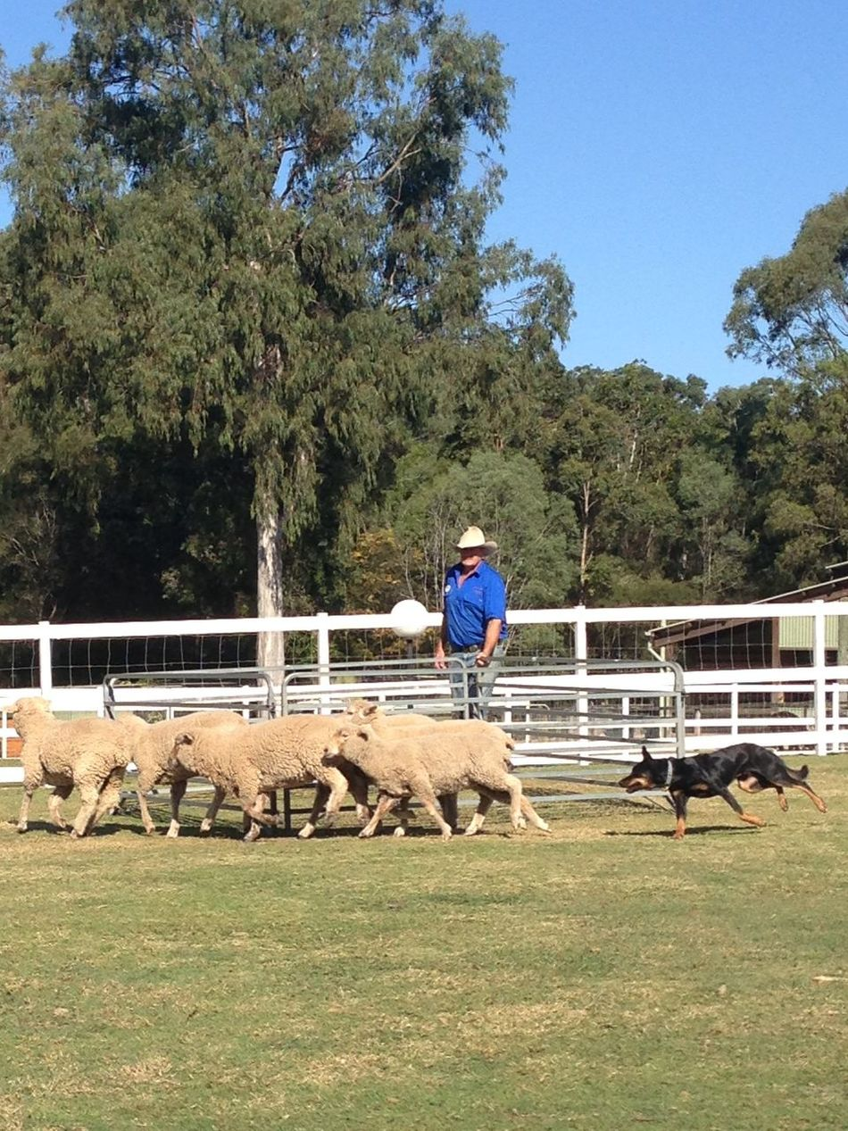 Sheep Dog Farmer Australia