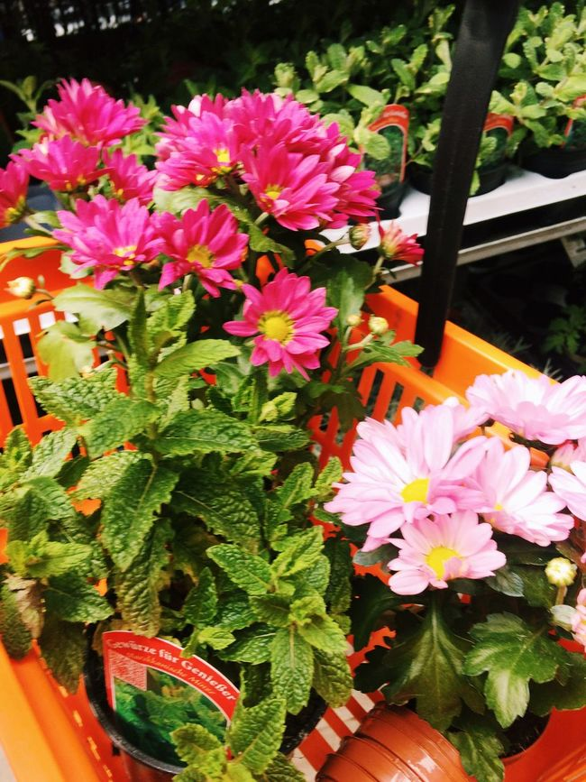 Flowers Summer Pink Flower Balcony Colors Garden Urban Gardening Gardening Flowers,Plants & Garden