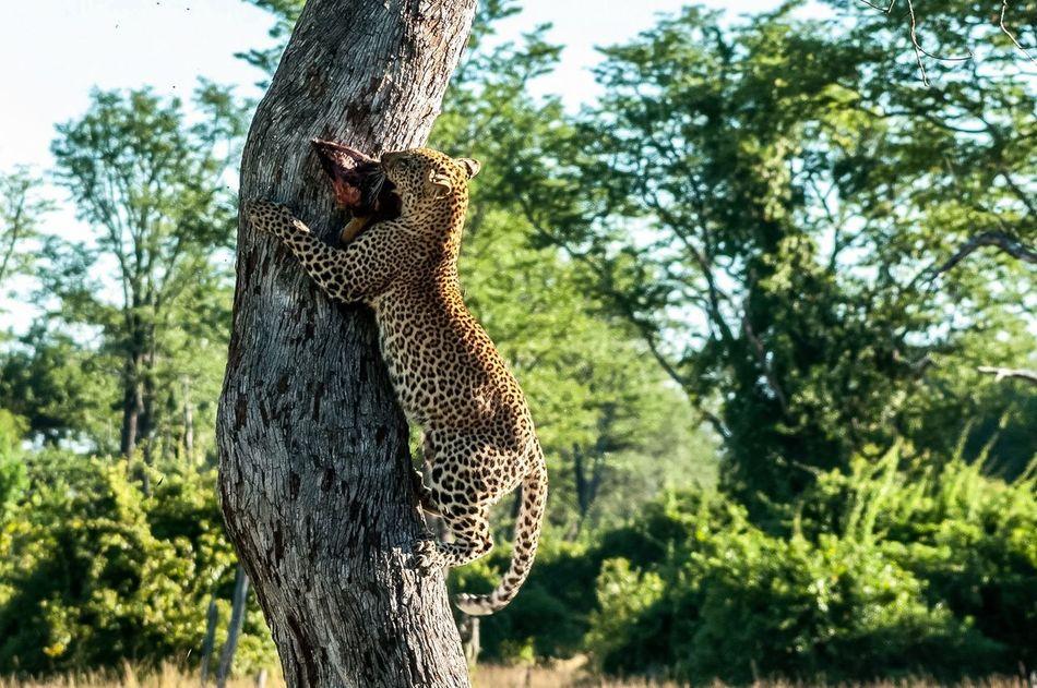 Beautiful stock photos of jaguar, Animal Pattern, Animal Themes, Animal Wildlife, Animals In The Wild