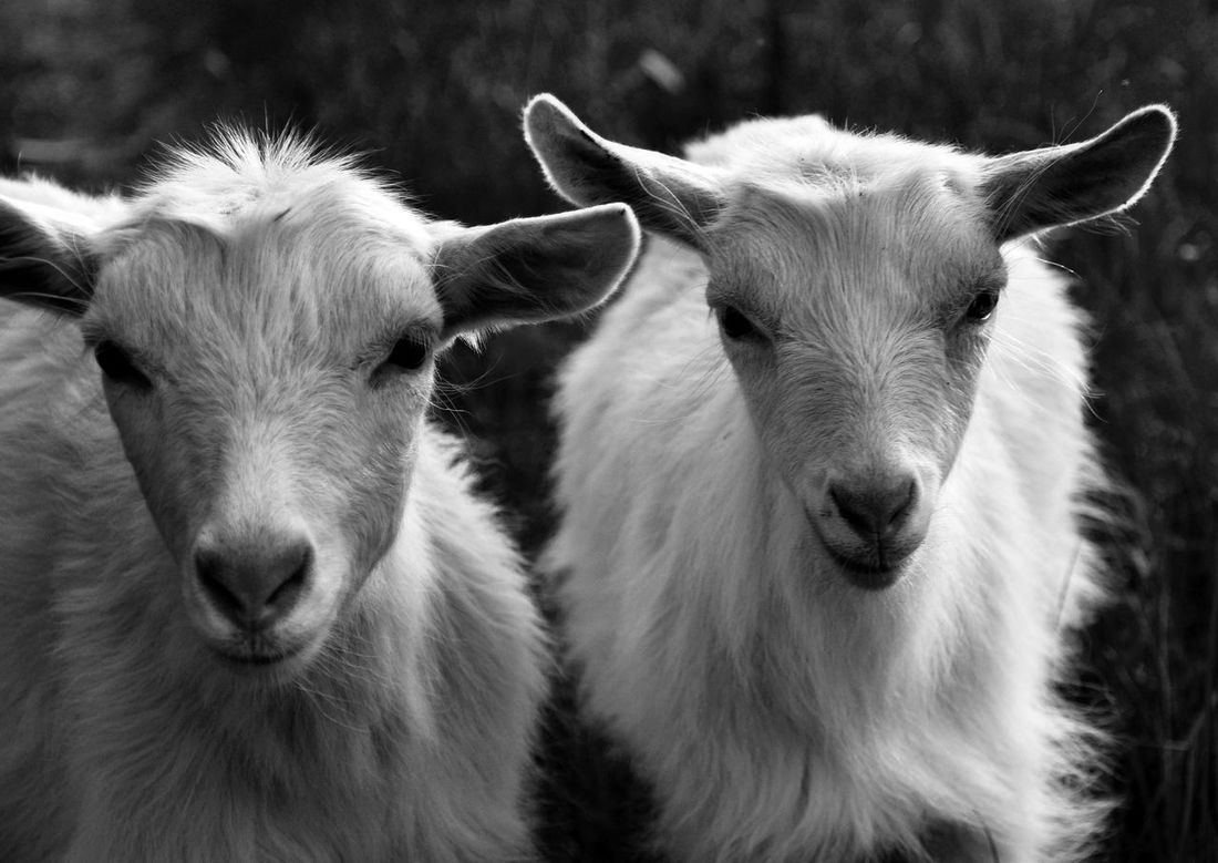 Two little goatlings Animal Head  Animal Themes Animals Black And White Blackandwhite Photography Close-up Day Domestic Animals Domesticated Animal Tag Friends Goat Goatling Herbivorous Light And Shadow Livestock Looking At Camera Mammal Nature No People Outdoors Portrait Portraits Siblings Twins Wind