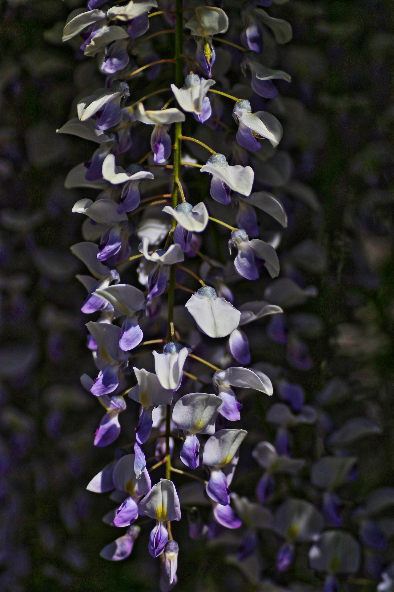 Blooming Day Fiori Flower Fragility Glicine Insetti Nature Outdoors Primavera2017 Purple