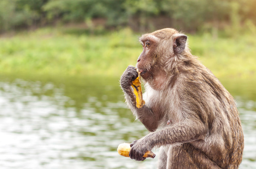 Monkey sitting and eating a banana with lake nature background, Thailand. Banana Eating Hungry Nature Rhesus Macaque Animal Animal Head  Animal Themes Animal Wildlife Animals In The Wild Beauty In Nature Environment Focus On Foreground Forest Holding Lake Mammal Monkey Nature No People One Animal Outdoors Primate Sitting Water
