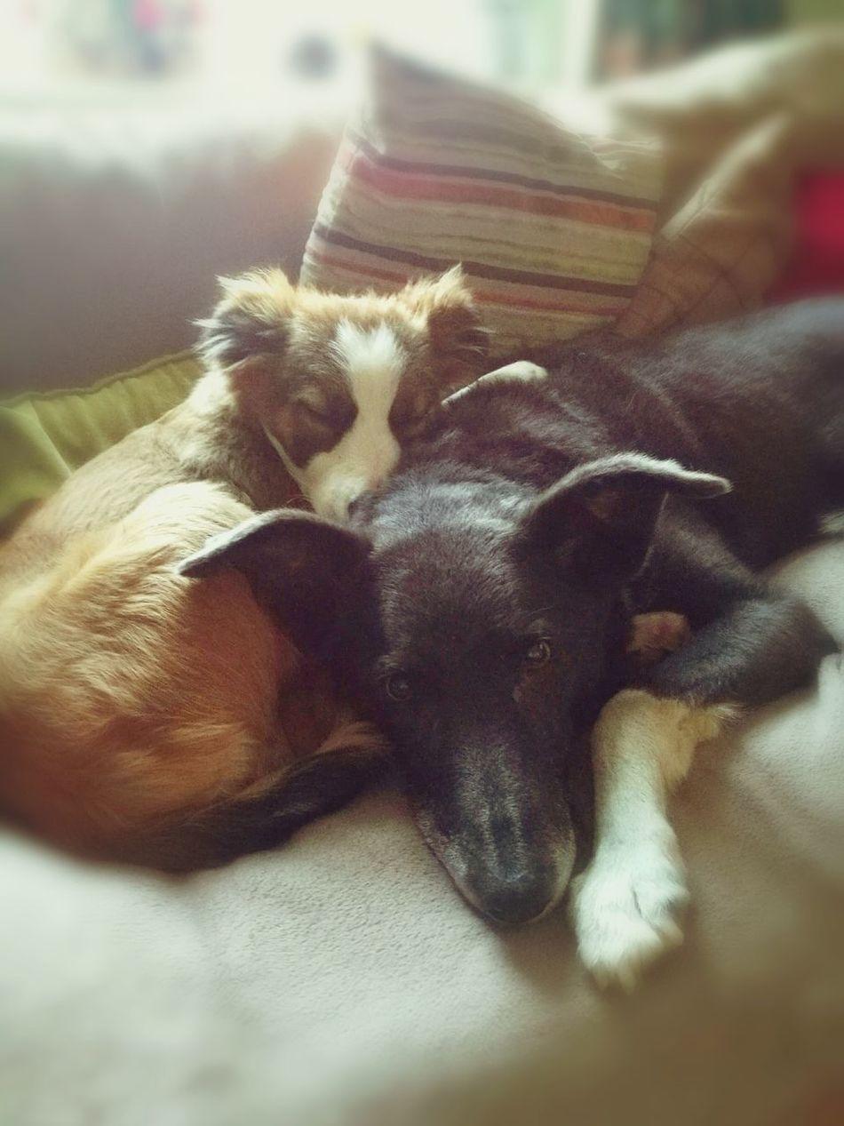 Snuggles Pets Dogs Sofa Bordercollie  Walleye Tan Black White Blue Grey Bromance
