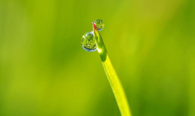 Tautropfen am Morgen Beauty In Nature Close-up Dew Drops Grass Green Light Mirror Morning No People Plant Reflexions Spiegel Spiegelung Tau Tautropfen Tropfen Wasser Water Water Reflections Wildlife