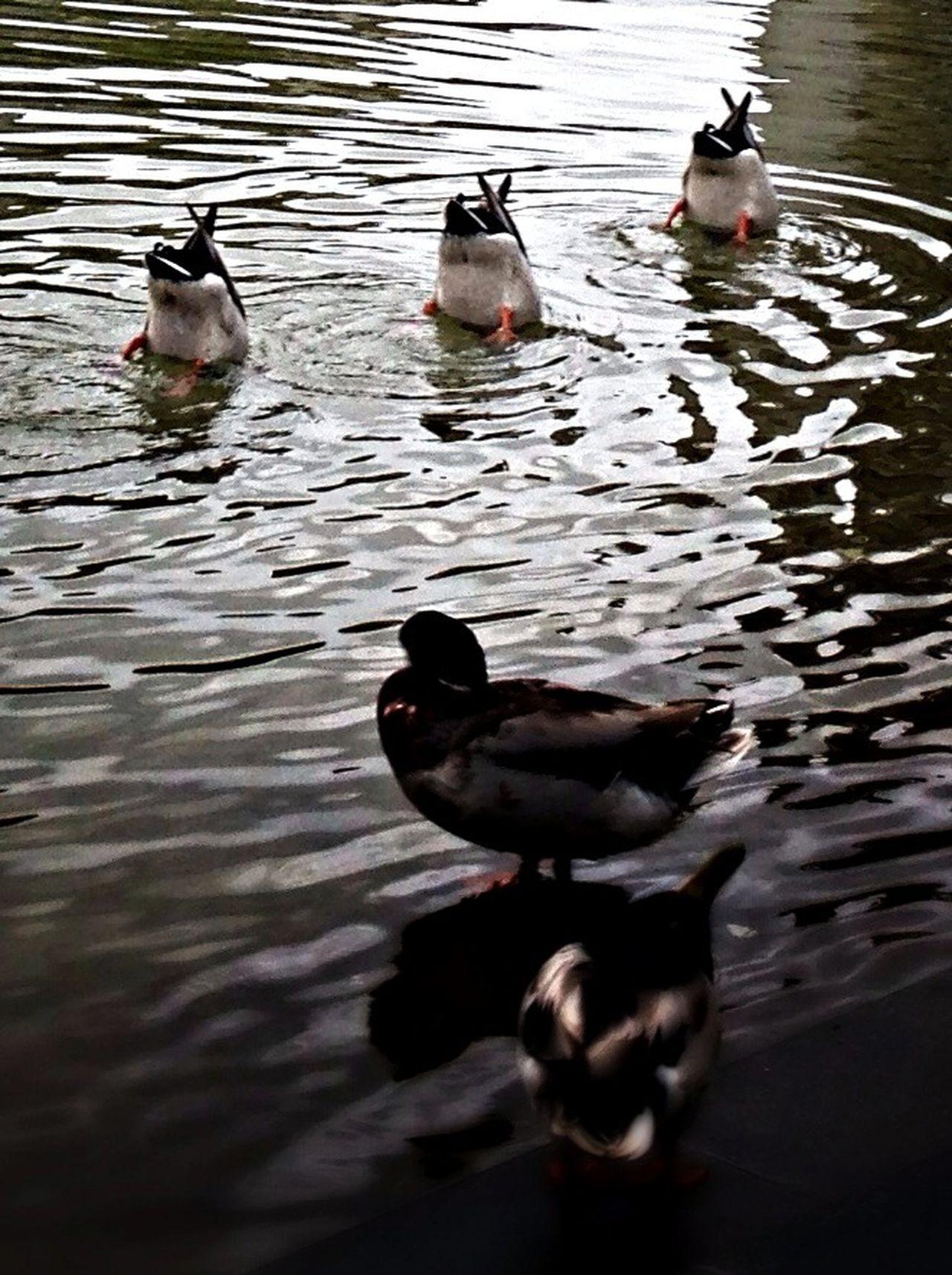 Diving ducks, Enten tauchen