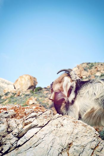 One Animal Animal Themes Mammal Nature Day No People Sky Outdoors Beauty In Nature Goathead Goat Life Goat Rocks And Sky Rocks Landscape Island The Week On EyeEm