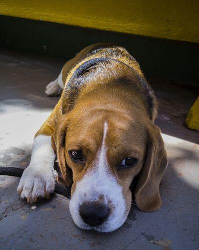 Brasília Light And Shadow Dog Capture The Moment Urban City Brazil Contrast Darkness And Light Beagle EyeEm One Animal Beagles Of Eyyem Pets Beagle Dog Beagles Of Eyeem Domestic Animals Contrasts Animal Themes