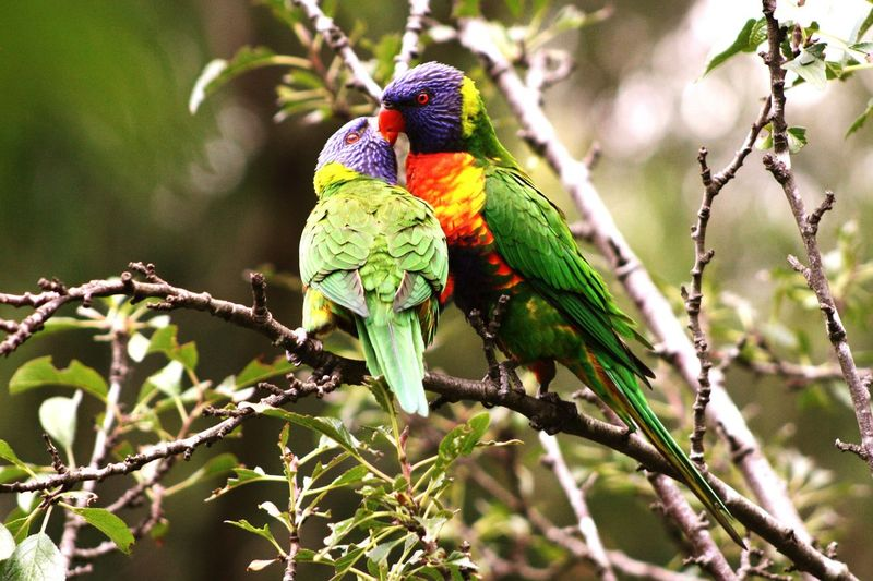 Love Bird Photography Rainbowlorikeet Australia Peck Valentine