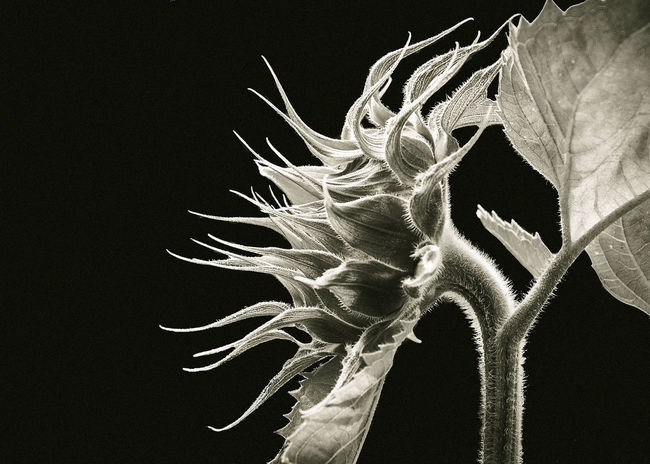 Beauty In Nature Botany Close-up Day Fragility Freshness Growth Leaf Majestic Monochrome Photography Nature No People Outdoors Plant Plant Life Scenics Spiked TakeoverContrast Tranquil Scene Tranquility
