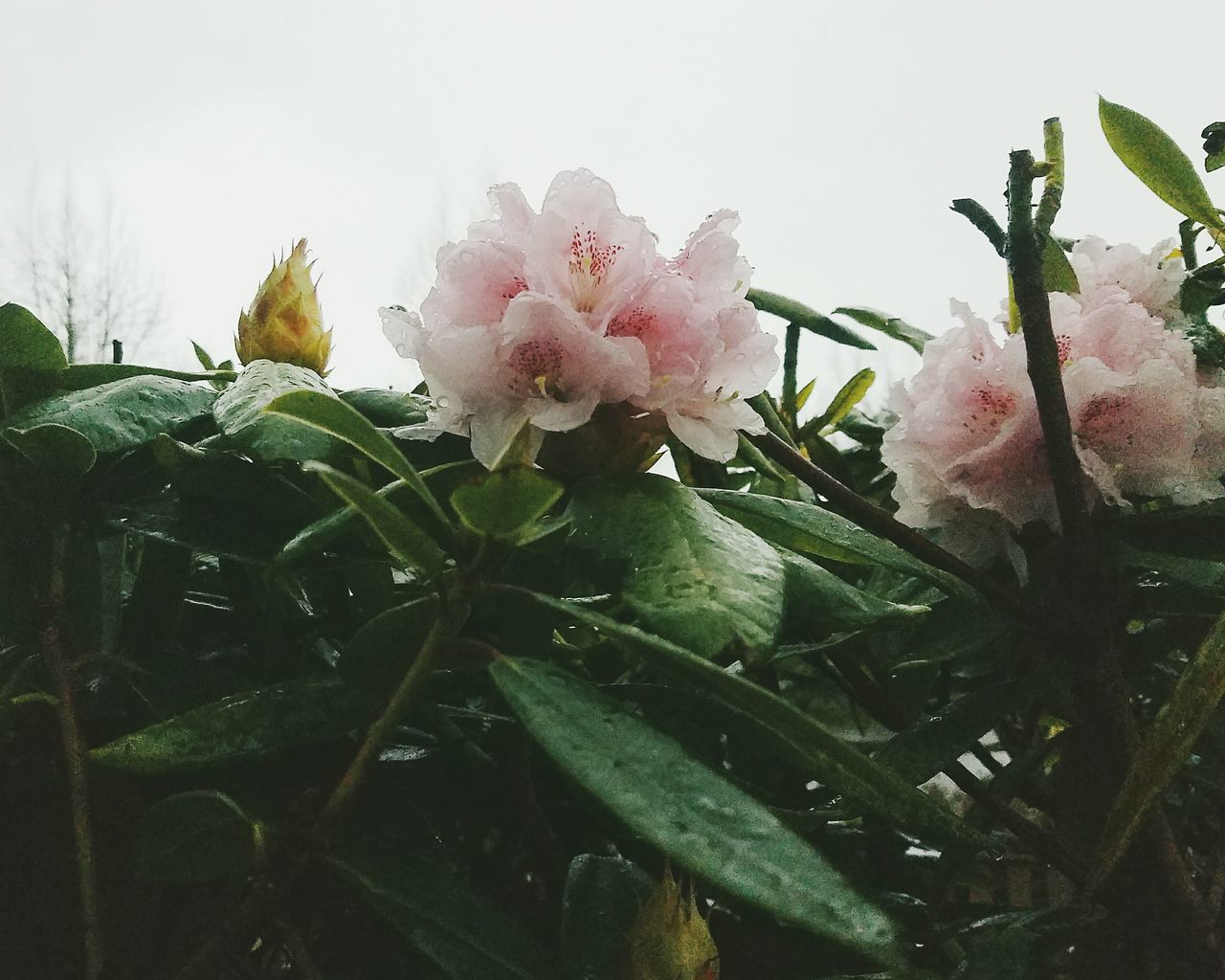 Flower Growth Plant Nature Rhododendron Blossoms Rain Drops On Petals