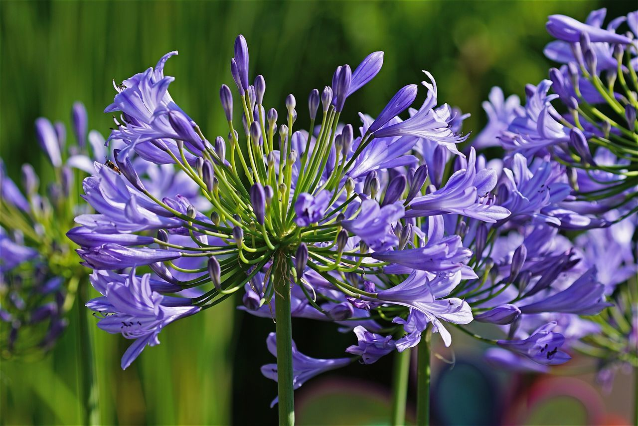 Agapanthus Flowers Lilac Flower Showcase August Tadaa Community Creative Light And Shadow Colour Of Life What's On The Roll Open Edit Eye4photography  AMPt_community Ladyphotographerofthemonth Garden