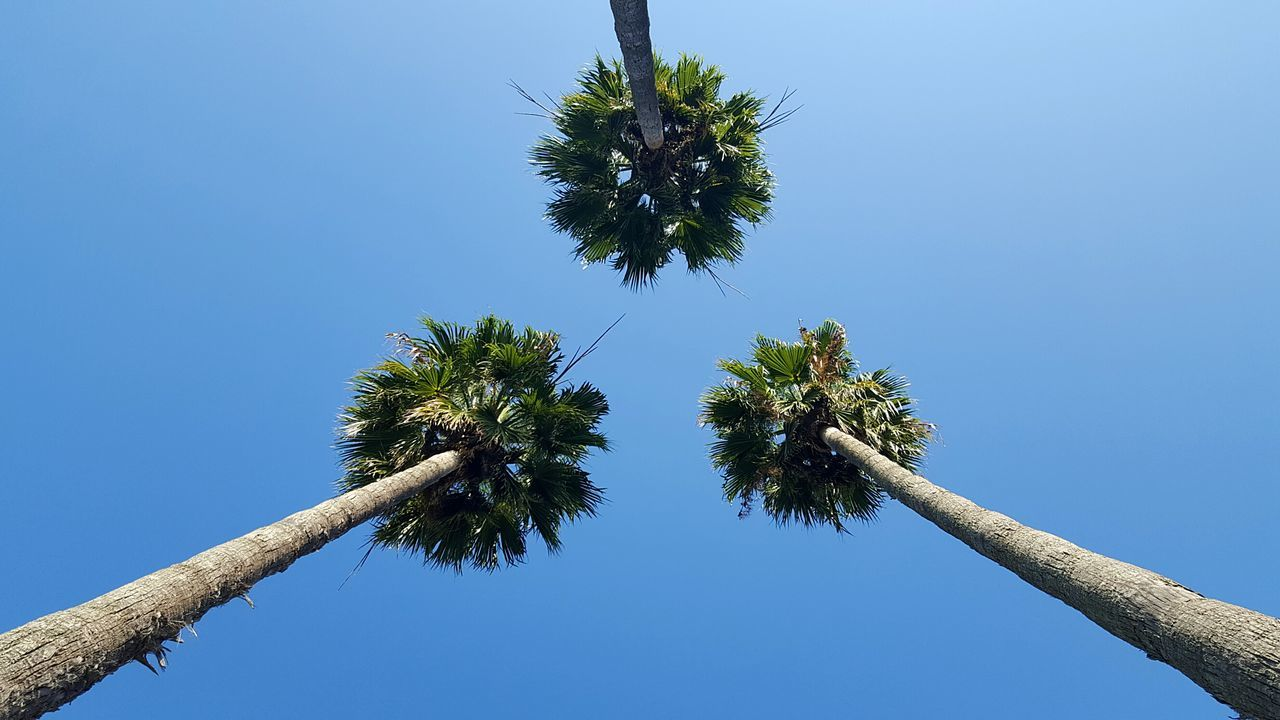 Tree Palm Tree Clear Sky Sky No People Nature Outdoors Treetop City Still Life Fine Art My City Urban Exploration Low Angle View Beauty In Nature Blu Sky Three