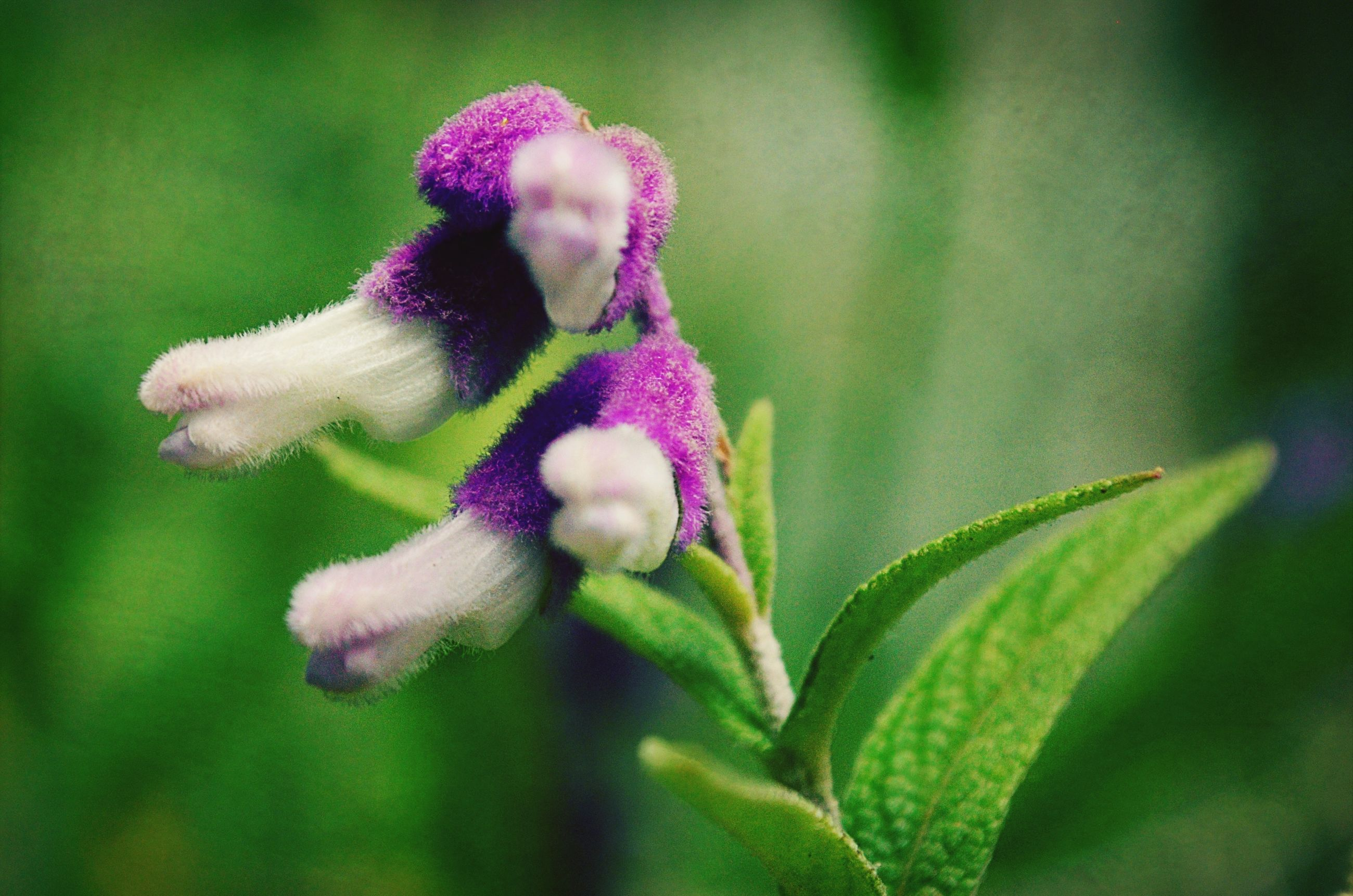 flower, freshness, growth, close-up, fragility, beauty in nature, petal, bud, plant, focus on foreground, nature, flower head, new life, selective focus, beginnings, blooming, purple, pink color, green color, day