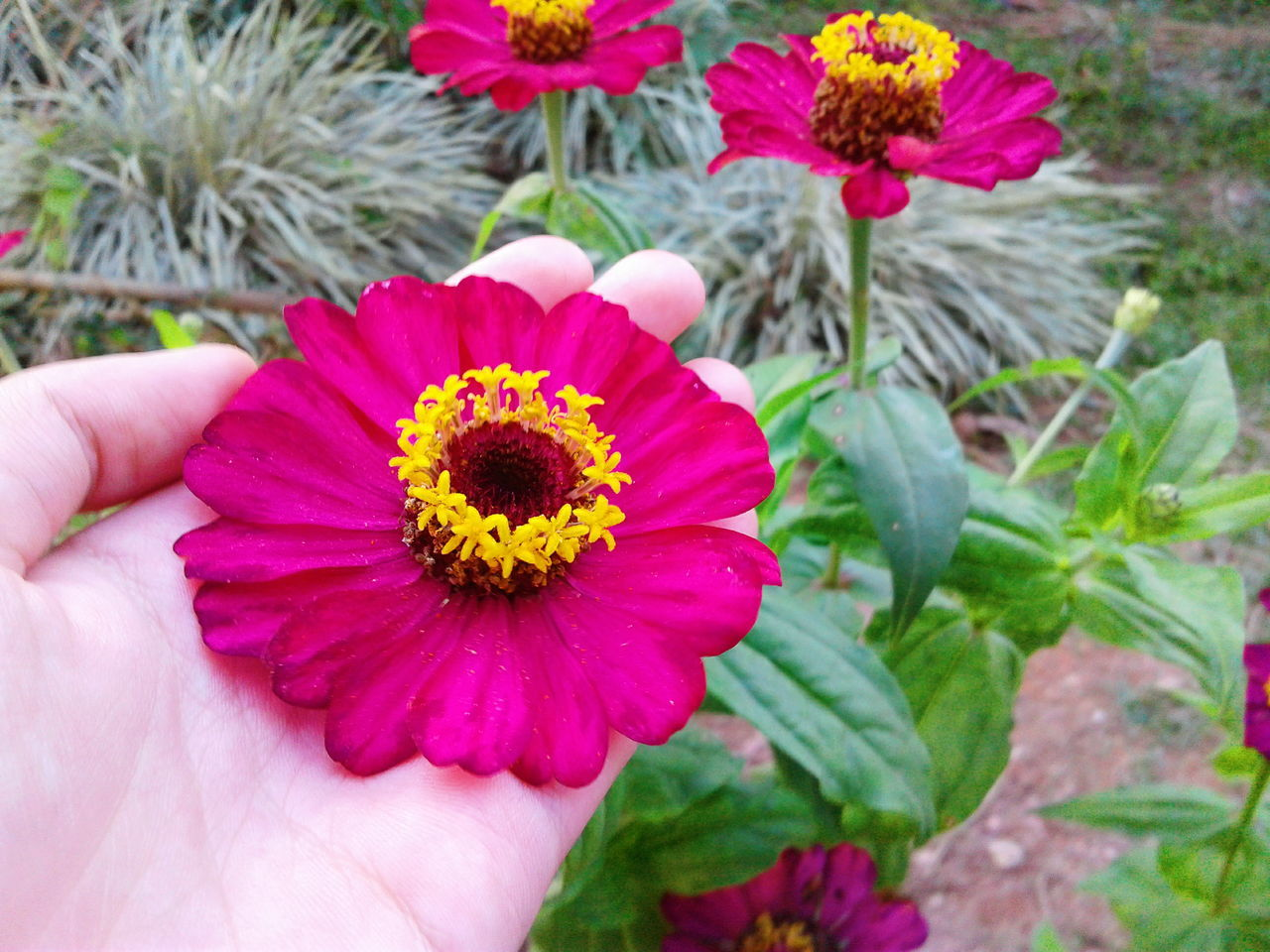 flower, petal, flower head, freshness, fragility, human hand, nature, beauty in nature, outdoors, human body part, holding, growth, plant, real people, pollen, day, one person, blooming, close-up, zinnia, people