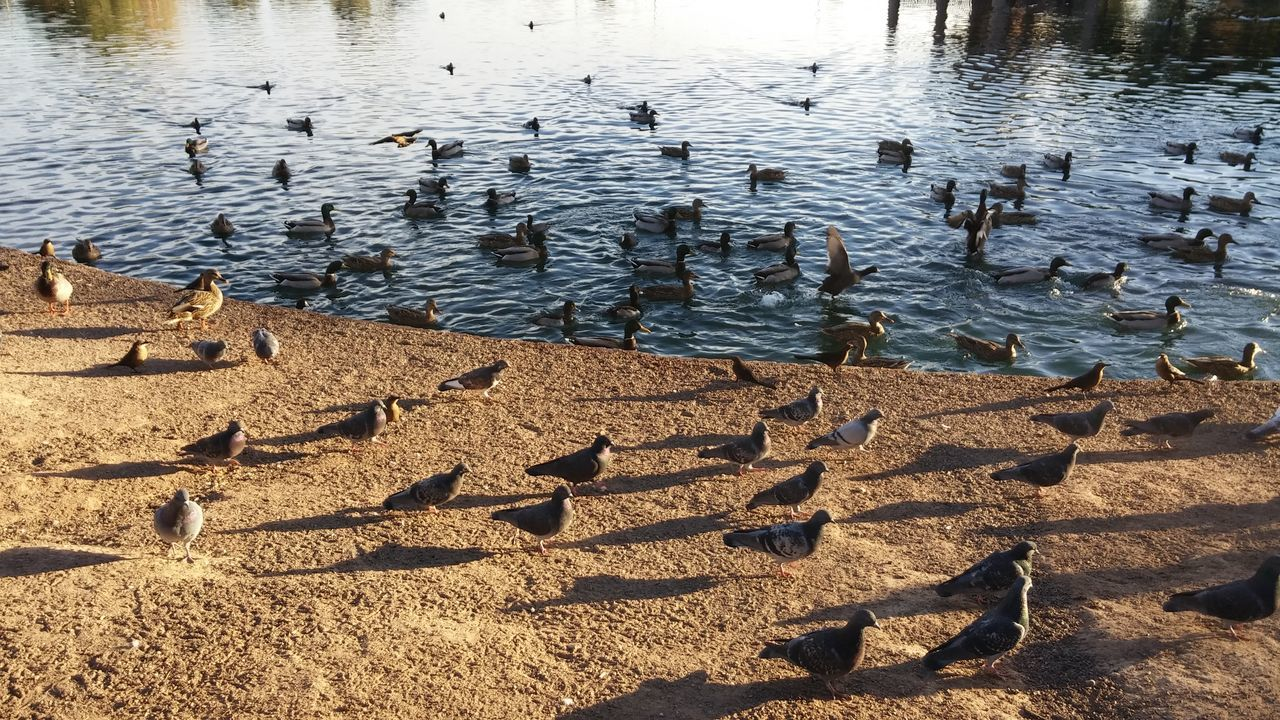 water, high angle view, lake, nature, day, animal themes, large group of animals, no people, animals in the wild, outdoors, rippled, bird, animal wildlife, beauty in nature, swimming, swan