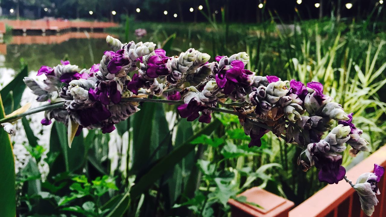 华农 湖亭紫 Lady Flower