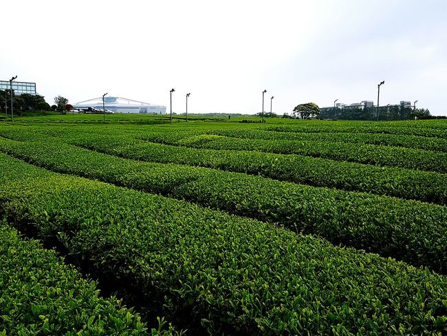 Found On The Roll Vacation Trip Korea JEJU ISLAND  Greenery Green Green Tea Farm Osulloc Sky