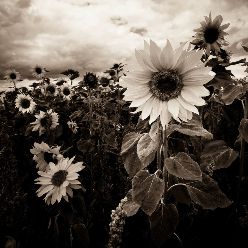 Armageddon Beauty In Nature Blooming Close-up Creative Photography Dark And Creepy Face Of Sunflower Flower Flower Head Flowers Growth Moody Nature Plant Sepia Sepia Sunflowers Sky Sunflowers Triffids