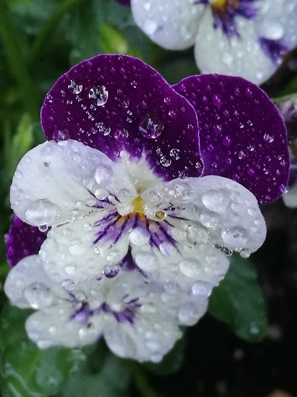 flower, drop, petal, water, wet, beauty in nature, freshness, purple, fragility, nature, close-up, growth, flower head, raindrop, no people, day, outdoors