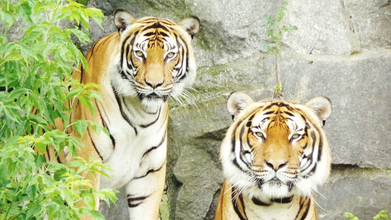 tiger, animals in the wild, animal themes, one animal, animal wildlife, looking at camera, day, mammal, nature, outdoors, portrait, no people, close-up