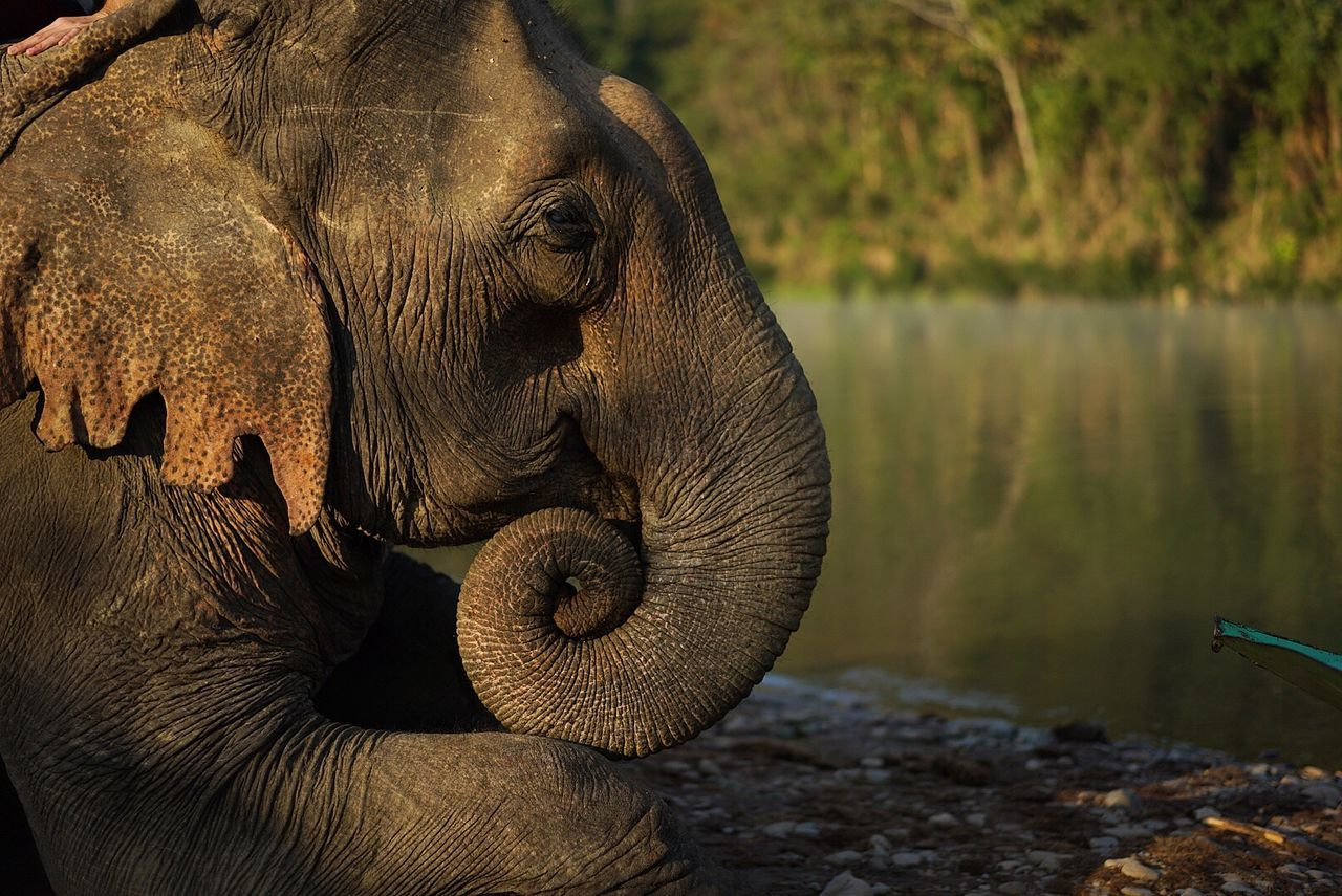 Adventure Animal Themes Animal Trunk Animal Wildlife Animals In The Wild Close-up Day Elephant Elephants Jungle Lake Laos Mahout Mammal Nature No People One Animal Outdoors Safari Animals Travel Destinations Travelling Photography Water