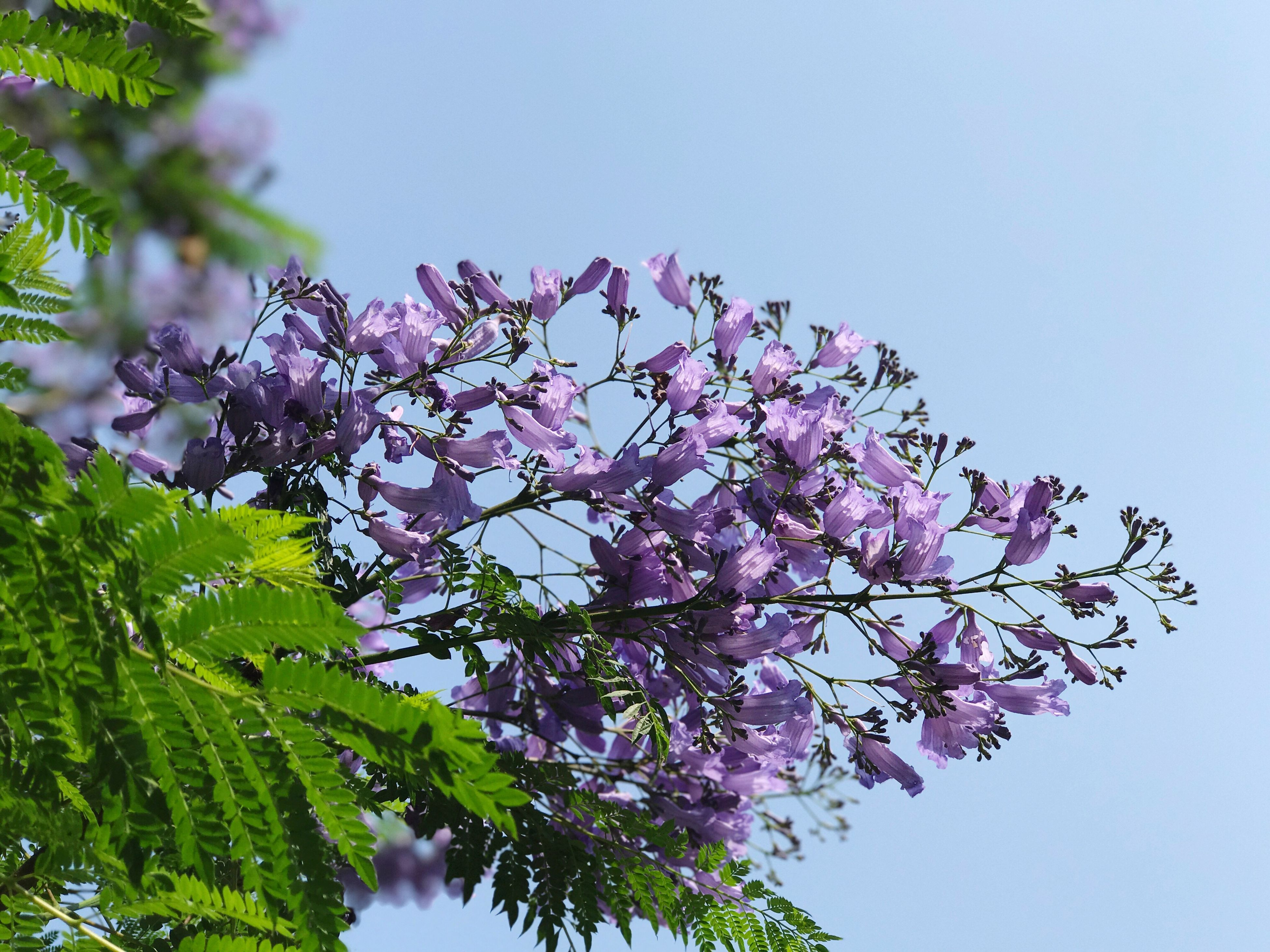 nature, beauty in nature, flower, growth, low angle view, fragility, freshness, tree, no people, clear sky, pink color, day, outdoors, branch, plant, lilac, sky, blooming, close-up