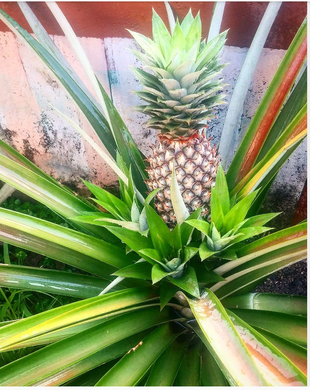 leaf, green color, growth, pineapple, no people, nature, freshness, flower, food, plant, beauty in nature, day, outdoors, healthy eating, close-up