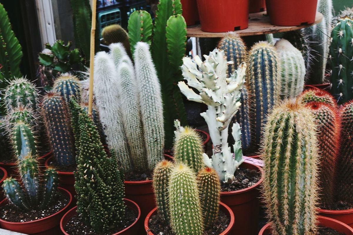 Close-up Day Cactus Cacti Plants Market Bloemenmarkt Amsterdam Travel No People EyeEmNewHere Nature City Netherlands Indie Cute