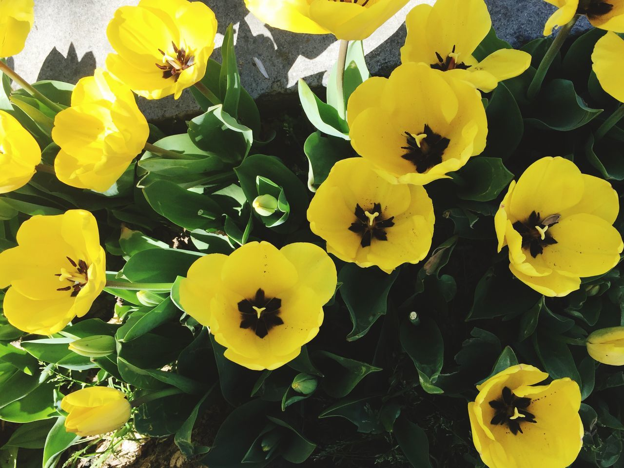 Spring Flowers Flowers Tullips Yellow Yellow Flowers Nature Mobilephotography Mobile Photography IPhoneography