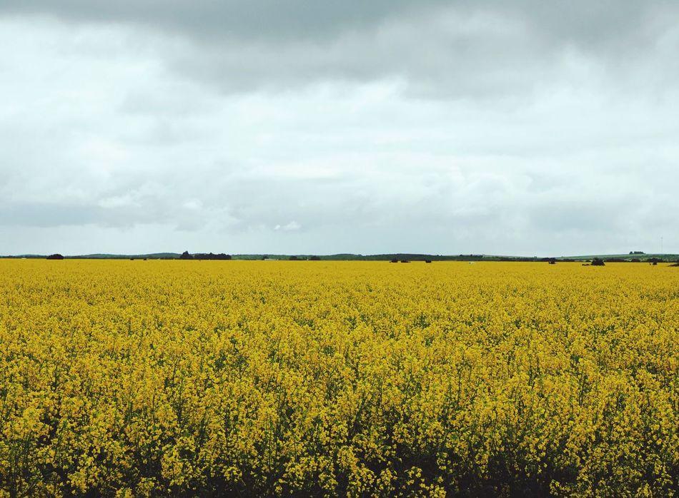 Canola Field Canola Landscape Field Agriculture Farm Growth Flower Outdoors Crop  Yellow Western Australia WestCoast
