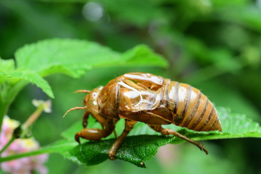 Husk Of Cicada Close-up Day Full Length Green Color Insect Leaf Nature No People One Animal Outdoors Plant Wildlife