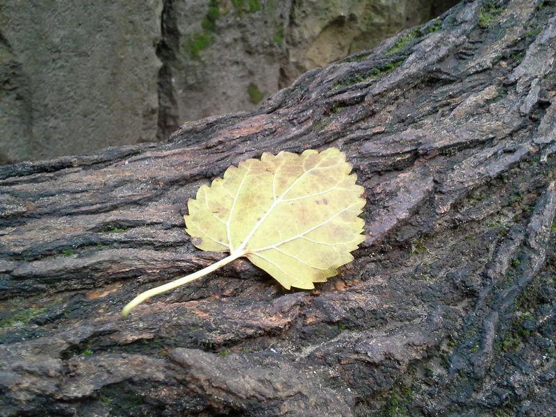 A leaf rests Autmn Bole Leave Nature Plant Relax Yellow ősz