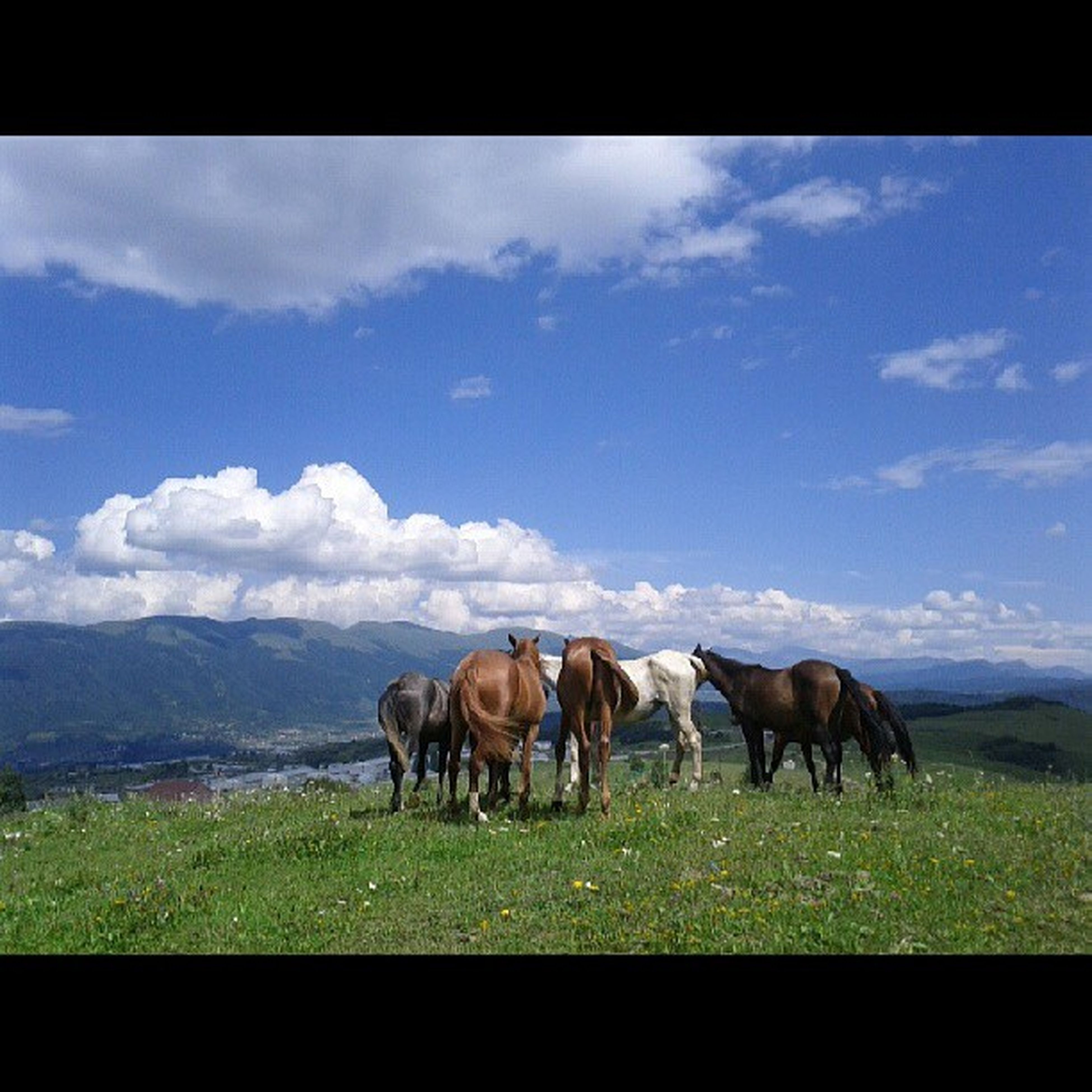 animal themes, livestock, domestic animals, horse, mammal, field, grazing, grass, landscape, sky, herbivorous, standing, cow, pasture, nature, medium group of animals, tranquility, full length, cloud - sky