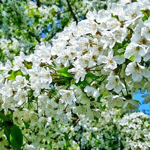 Cherry Blossoms Cherry Cherry Blossom Cherry Tree Cherryblossom White Flower White Blossoms Weiße Blüten Kirschblüten  Kirschblüte Kirsch Kirschbaum Kirschblütenfest Kirschen  Rein Unschuldig Sweet Zart EyeEm Best Shots EyeEm Nature Lover Enjoying Life Hello World EyeEm Gallery Eye4photography  EyeEm