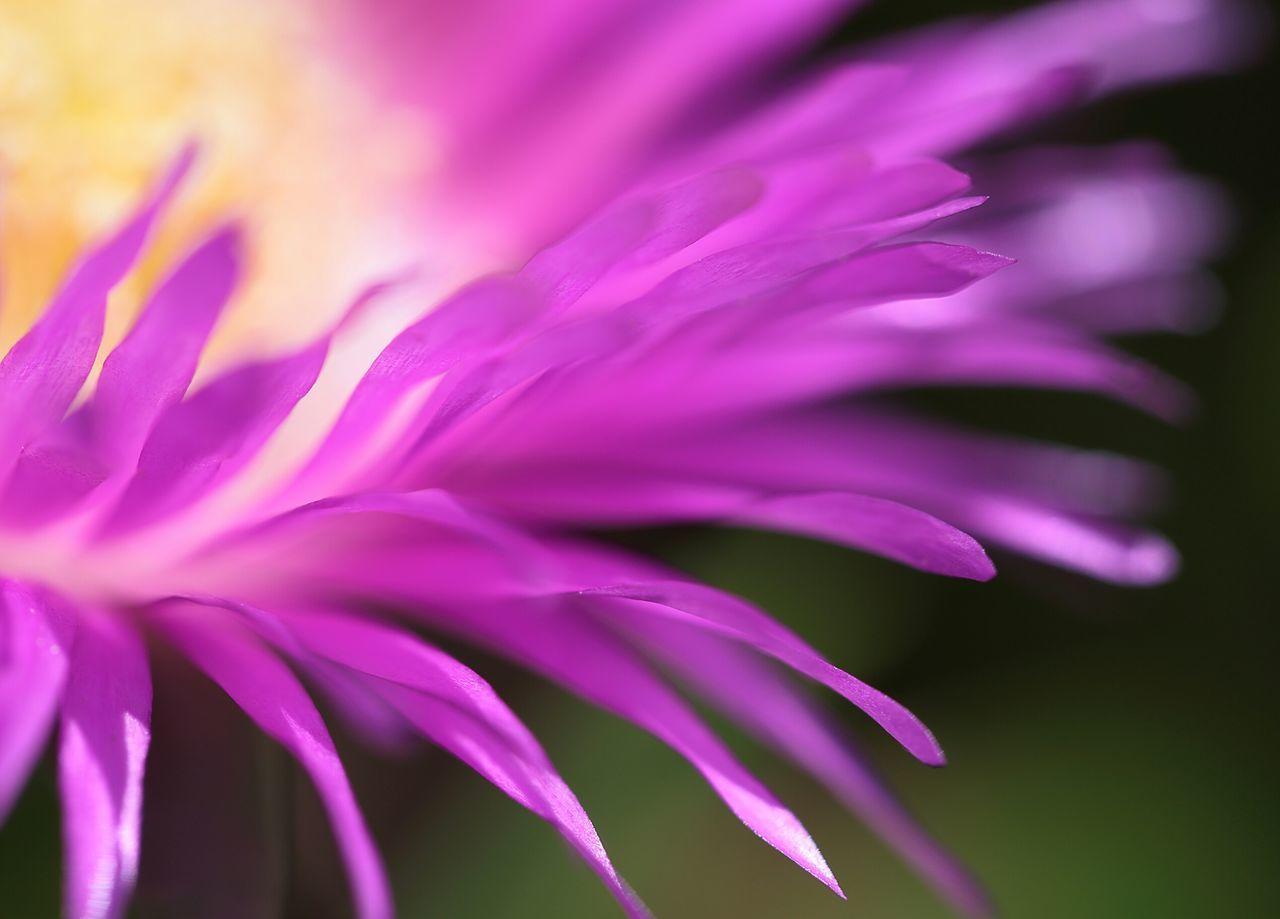 Carprobotus Plantes Grasse Flower Petal Colorful Couleur Vives Jaune Jardin Garden